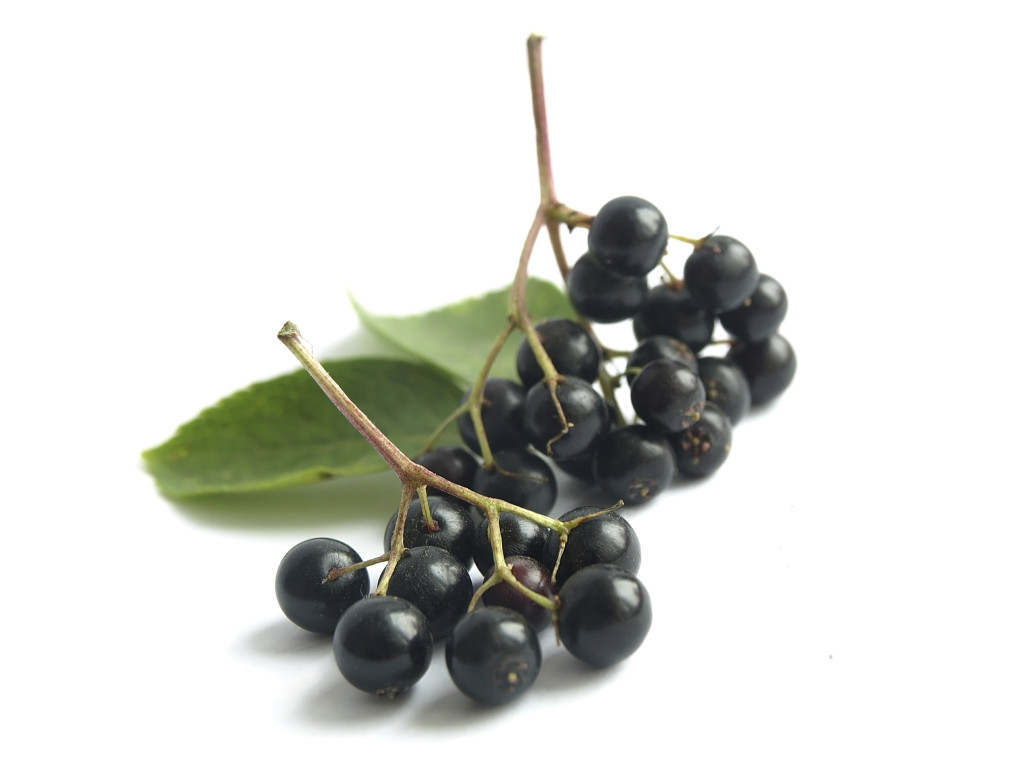 Elderberry for the Home Landscape | Uconnladybug'-s Blog