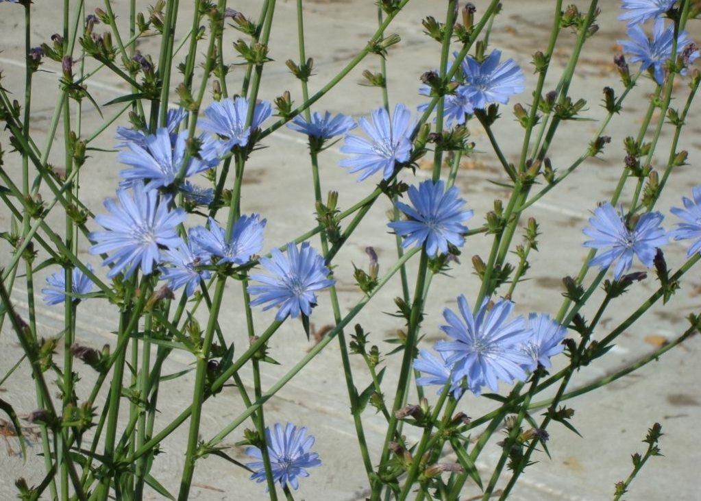 Health Benefits of Chicory