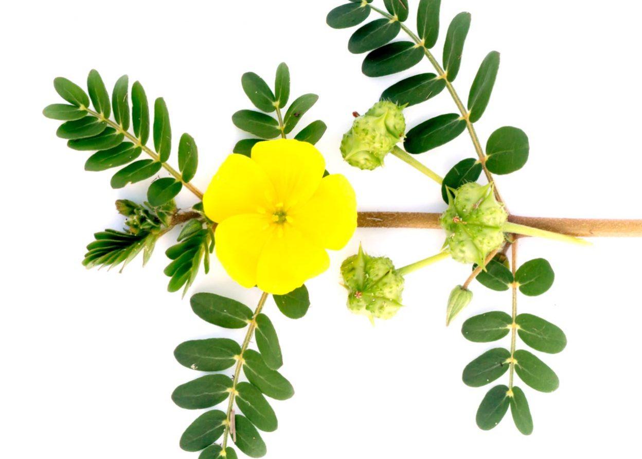 Tribulus Terrestris Uses - flower